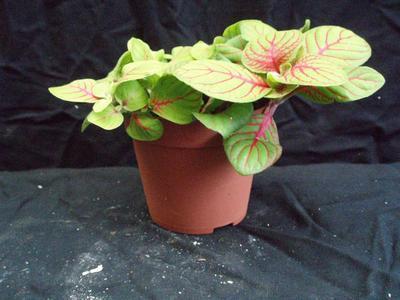 Fittonia verschaffeltii (světlezelená s červenou žilkou) - 3