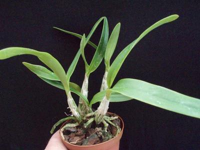 Epidendrum bracteolatum - 3