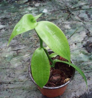 Vanilla africana - 3
