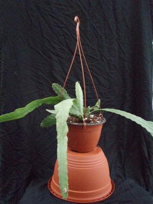 Epiphyllum 'Pink Prince' - 3