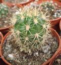 Echinopsis hybrid (3 různé typy) - 3/3