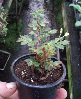 Begonia fuchsioides - 3