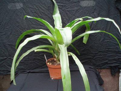Billbergia pyramidalis (velká rostlina) - 3