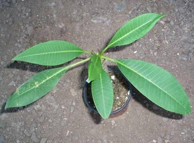 Plumeria alba - 3