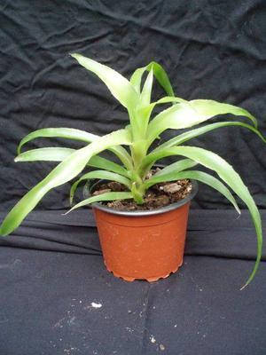Billbergia pyramidalis - 3