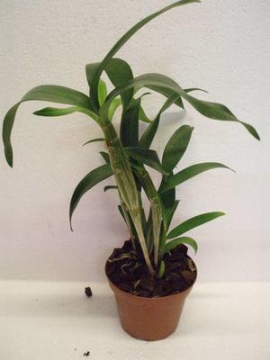 Dendrobium Nora Tokunaga - 3