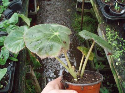 Begonia erythrostyla - 3