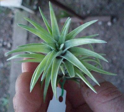 Tillandsia neglecta - 3