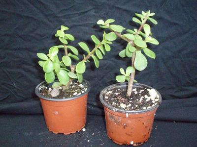 Portulacaria afra (střední) - 3