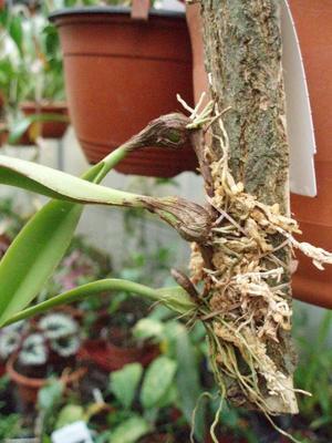 Bulbophyllum auratum (vyvázané) - 3