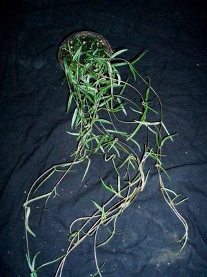 Ceropegia linearis ssp. debilis - 3