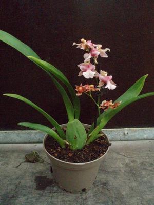 Kvetoucí orchidej mini Oncidium #3 - 3