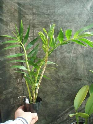 Dendrobium fimbriatum - 3