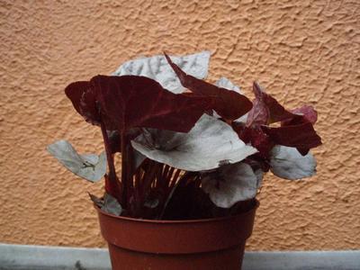 Begonia 'Silver Limbo' - 3