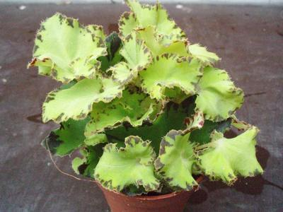 Begonia bowerae 'světlejší' - 3