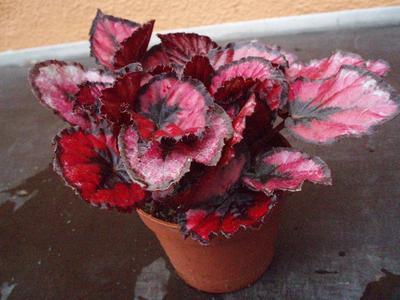 Begonia rex 'Red&Black' - 3