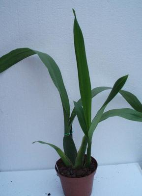 Brassia allenii - 3