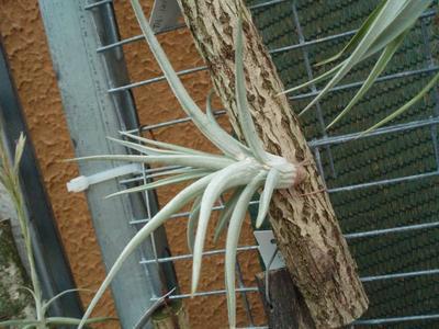 Tillandsia ixioides (velká) - 3