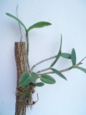 Orchidej Cattleya - květuschopná vyvázaná - 3
