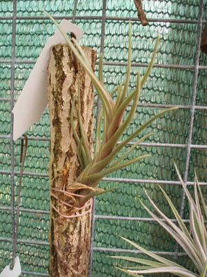 Tillandsia albertiana (menší) - 3