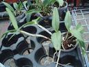 Cattleya elongata - 3/3