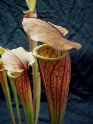 Sarracenia 'Bronze Jewell' - 3