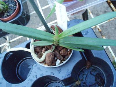Renanthera monachica - 3