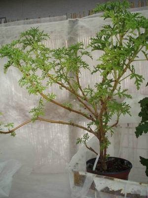 Pelargonium radens - 3