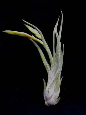 Tillandsia caput medusae (střední) - 3