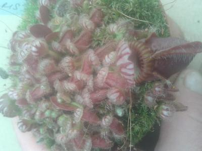 Cephalotus follicularis - 4