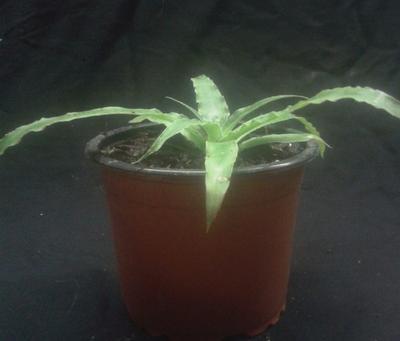 Fosterella penduliflora - 4