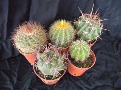 sada 5 různých kaktusů - 4