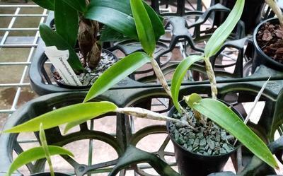 Dendrobium balzerianum - 4