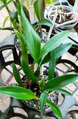 Dendrobium gordonii - 4