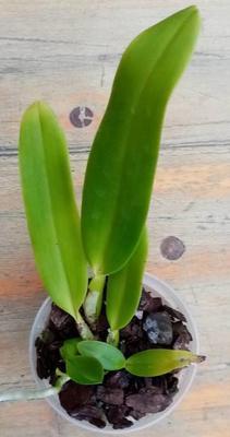 Cattleya labiata - 4