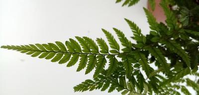 Polystichum tsus-simense (kapradina) - 4