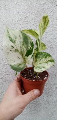 Scindapsus pinnatus 'Marble Queen' - 4