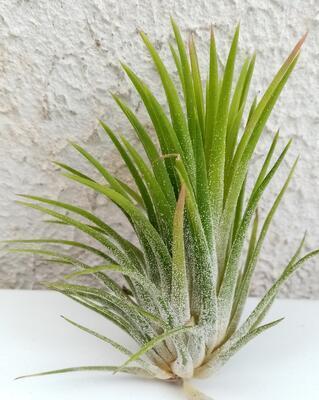 Tillandsia ionantha f. Honduras - 4