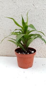 Vriesea ospinae - 4