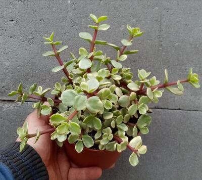 Portulacaria afra 'variegata' - 4