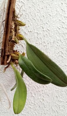 Bulbophyllum violaceolabellum - 4