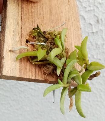 Adenocos parviflora - 4