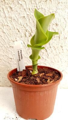 Pholidota bracteata - 4