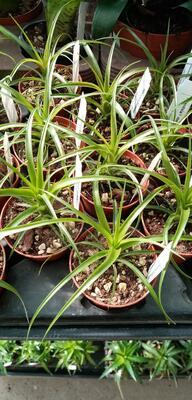 Tillandsia flabellata v. rubra - 4