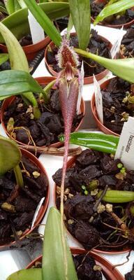 Bulbophyllum fascinator - 4