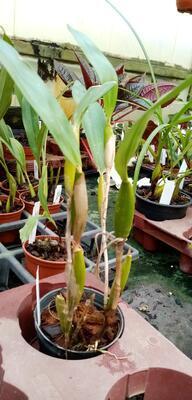 Flickingeria fimbriata - 4