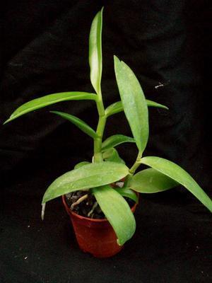 Dendrobium antennatum - 4