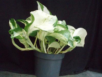 Scindapsus pinnatus 'Happy Leaf' - 4