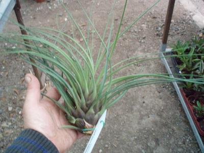 Tillandsia crista-gallii (velká) - 4