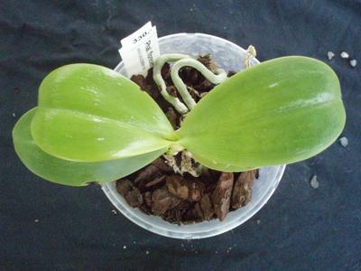 Phalaenopsis floresensis - 4